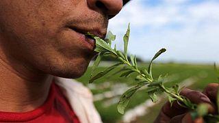 Les vertus de la stevia et ses inconvénients