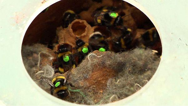 İngiltere'de arılar fişleniyor