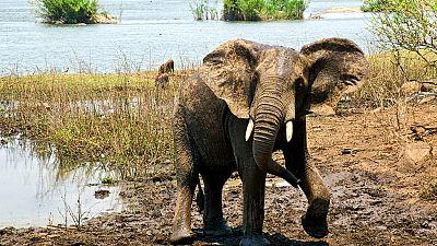 Malawi to relocate 500 elephants