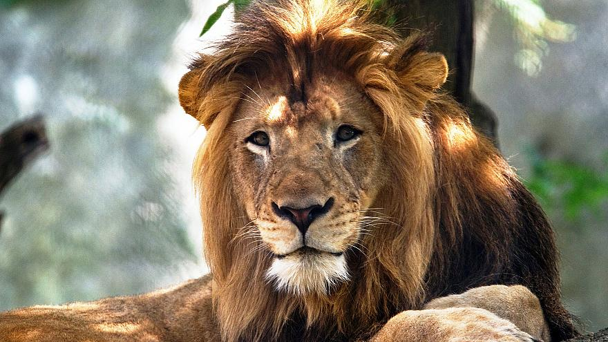 Image: The Indianapolis Zoo's adult male lion named Nyack.
