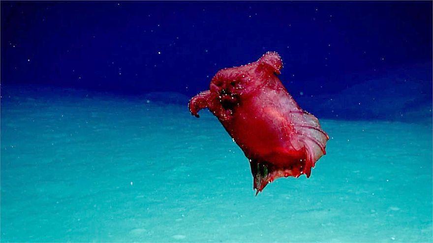 Image: 'Headless chicken' sea cucumber