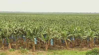 Banana farming in Ivory Coast revitalising