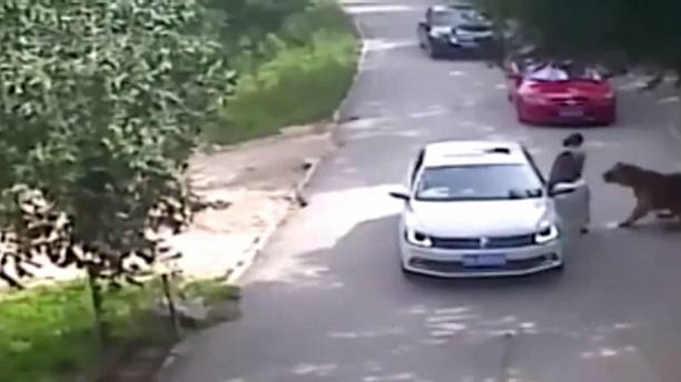 [video] Siberian tiger kills woman at Beijing wildilfe park