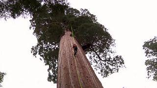 شجرة السيكويا لمكافحة تغيرالمناخ
