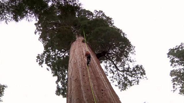 Le sequoie ci salveranno dalla catastrofe climatica?
