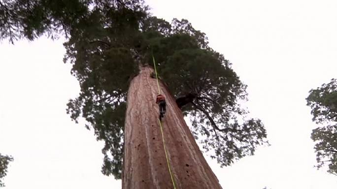 Cloning giant sequoias to battle climate change
