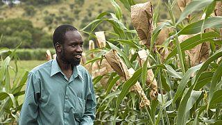 Zimbabwe : 500 millions de dollars pour accroître la production de maïs