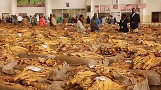 Malawi farmers struggle to cope as El Nino ravages tobacco harvest