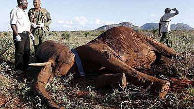 Afrique: le braconnage d'éléphants a baissé sur le continent, mais il reste encore très important