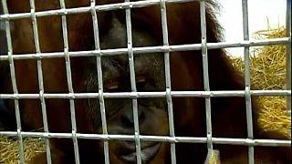 [Vidéo] Ce singe est capable d'imiter la voix humaine
