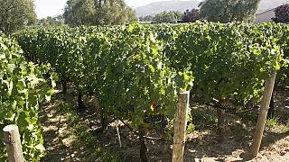 Egypt seeks to revive wine industry