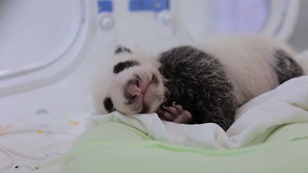 The first panda born in Shanghai turns one month old