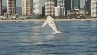 Im Video: Humpback Highway - das Paradies der Buckelwale in Australien