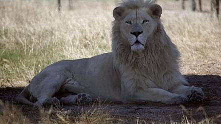 Kenya fits lions with GPS collars to prevent human-lion conflict