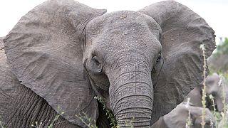"""En Malaisie, un éléphant vit avec ses défenses """"à l'envers"""""""