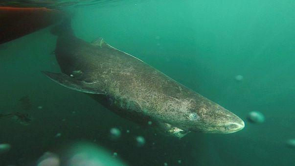400 évig élhet a grönlandi cápa