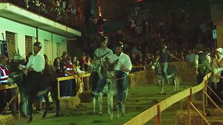 Stur geradeaus? Eselrennen in Italien amüsiert zahlreiche Touristen