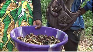 Centrafrique: les chenilles, un aliment qui rapporte gros