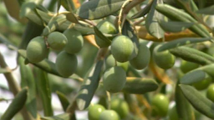 Drought threatens Croatia olive harvest