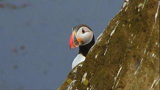 الغوص مع طيور البافين في ايسلندا هواية جديدة