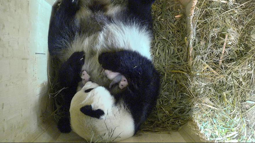 Sie krabbeln schon: 16 Tage alte Panda-Zwillinge in Schönbrunn