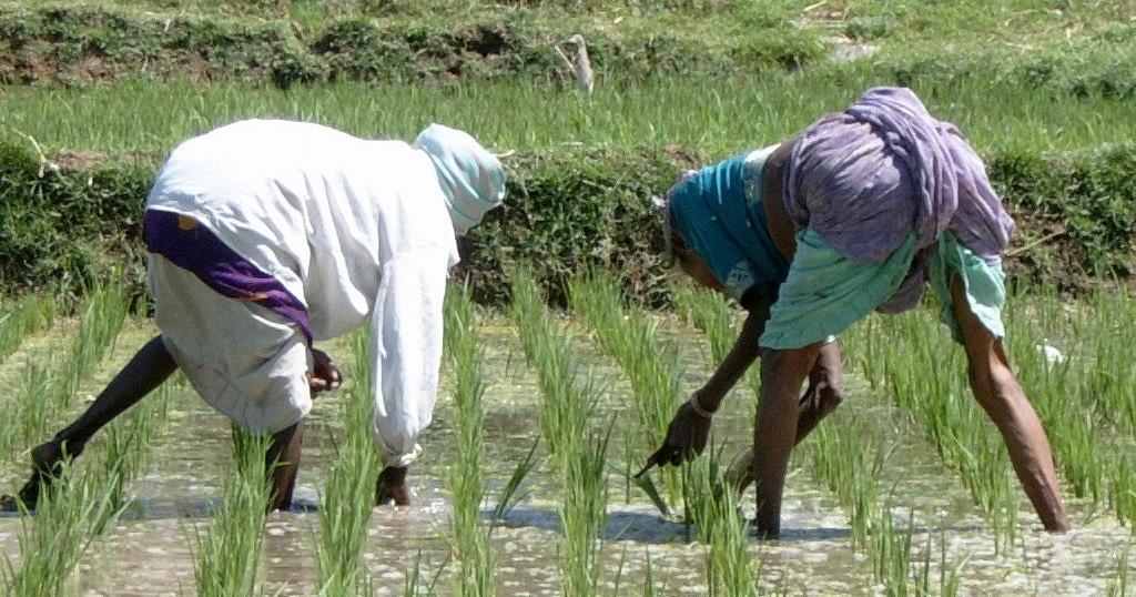 Road to Senegal's rice self-sufficiency   Africanews