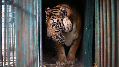 Le tigre Laziz est arrivé en Afrique du Sud vendredi