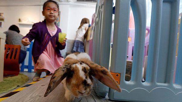 Abre portas em Hong Kong o primeiro café de coelhos