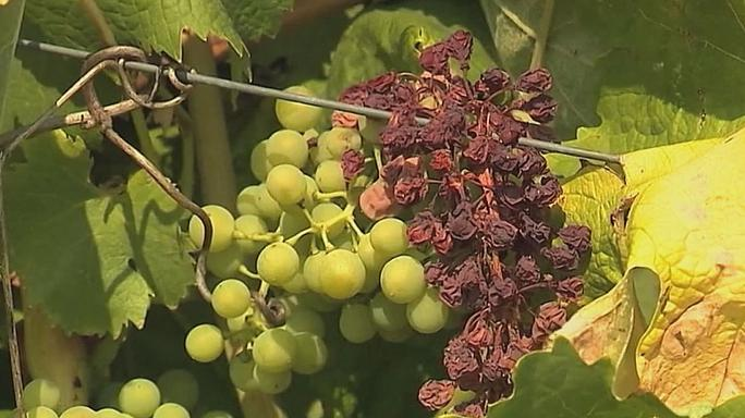 Elégtek a szőlőfürtök a szárazság miatt Champagne-ban