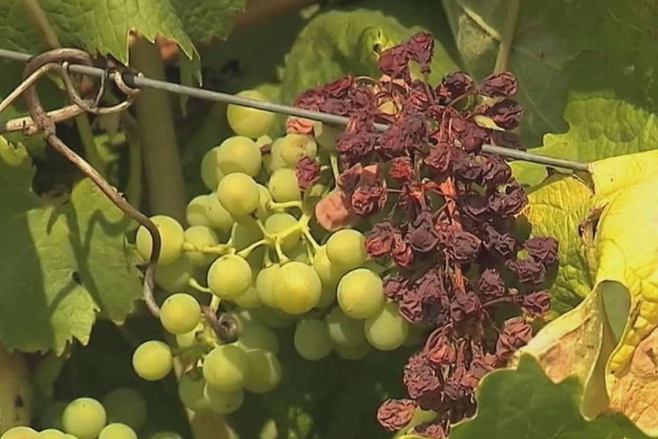 French wine production plunges after bad weather