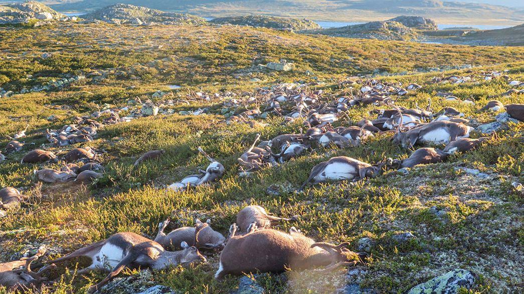 Норвегия: от удара молнии погибли более 320 оленей