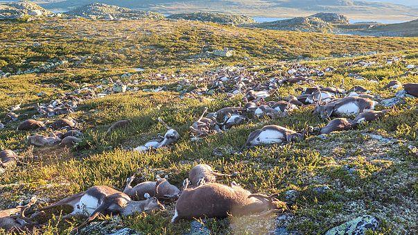 Norvège : un troupeau entier de rennes décimés par la foudre