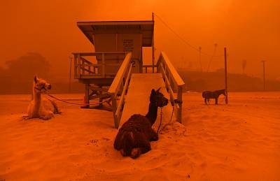 Llamas are tied to a lifeguard stand on the beach in Malibu, an animal evacuation area where they are safer, as the Woolsey Fire comes down the hill on Nov. 9, 2018.