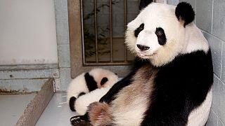 В зоопарке США родились панды-близнецы