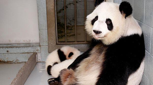 Nacen pandas mellizos en un zoo de Atlanta