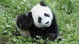 """Panda geht es besser: WWF-Ikone nur noch """"gefährdet"""""""