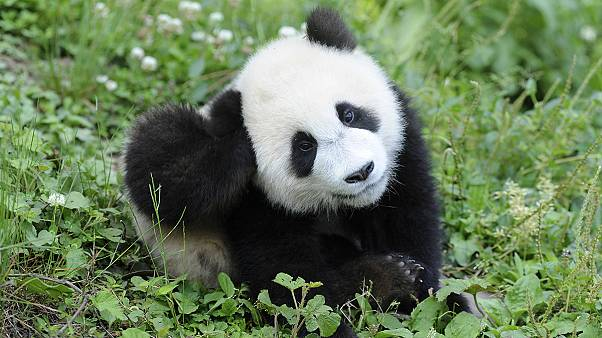 Wildlife groups hail the Giant Panda's revival
