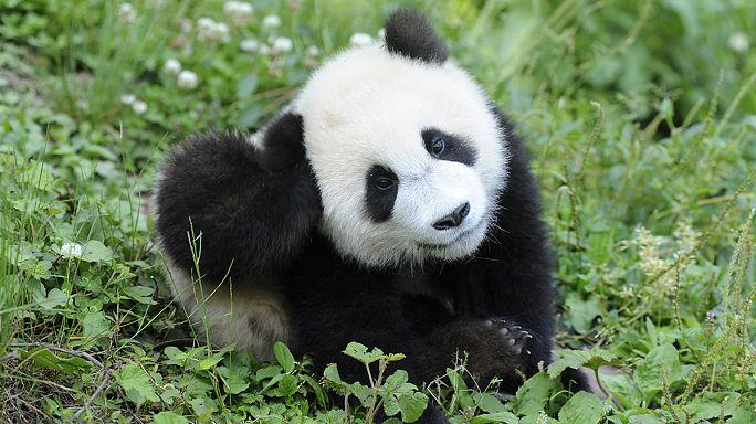 """Dev pandalar artık """"hassas"""" Grauer gorilleri ise """"nesli tükenmekte olan"""" listesinde"""