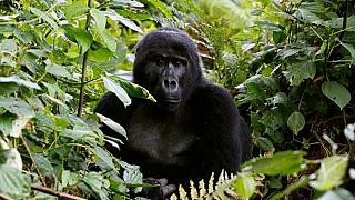The eastern gorilla is on the brink of extinction - International Union for Conservation of Nature