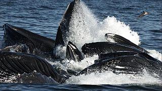 """""""Erfolgsgeschichte"""": Die meisten Buckelwalpopulationen nicht mehr vom Aussterben bedroht"""