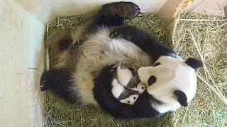 Panda ikizlerin cinsiyeti belli oldu