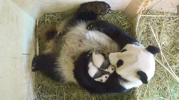 Nacen dos gemelos pandas en el zoo de Viena