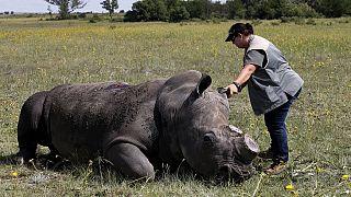 Zimbabwe : décorner les rhinocéros pour lutter contre le braconnage