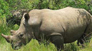 South Africa: Rhino poaching in the biggest wildlife park on the decline