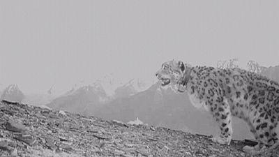 O leopardo das neves voltou a ser visto no Afeganistão