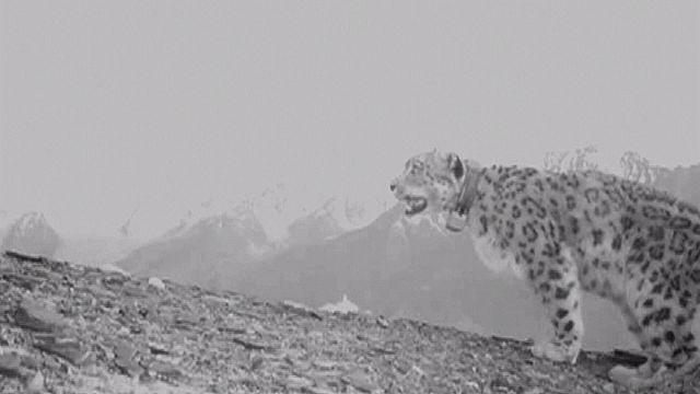 Afghanistan: Schneeleoparden sollen Touristen anlocken