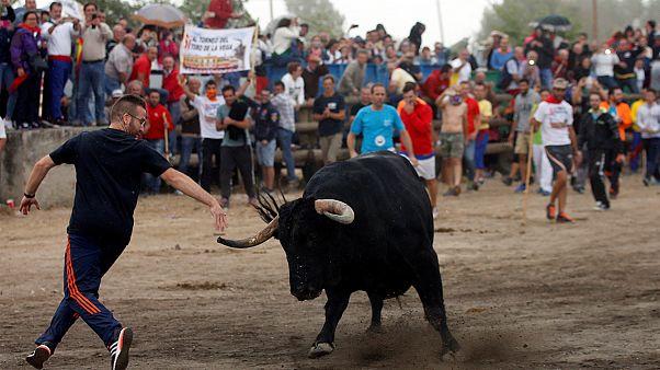 Megkegyelmeztek a bikának Tordesillas-ban