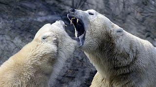 Nicht kalt genug - nicht genug zu essen: Eisbären bedrohen russische Forscher