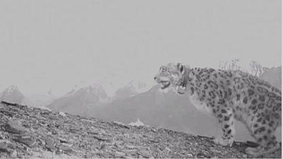 Le léopard des neiges, une espèce menacée