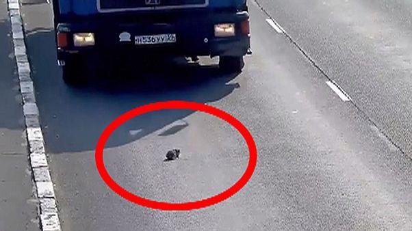 نجات یک بچه گربه در بزرگراهی شلوغ در روسیه